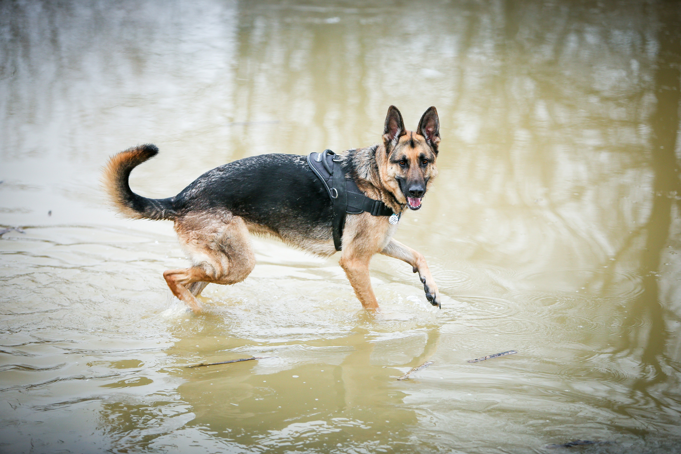 A German Shepard playing in water